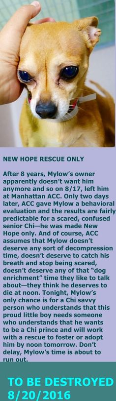SAFE 8/24/16❤❤❤Manhattan Center My name is MYLOW. My Animal ID # is A1085756. I am a male tan chihuahua sh mix. The shelter thinks I am about 8 YEARS old. I came in the shelter as a OWNER SUR on 08/16/2016 from NY 10454, owner surrender reason stated was NO TIME. http://nycdogs.urgentpodr.org/mylow-a1085756/