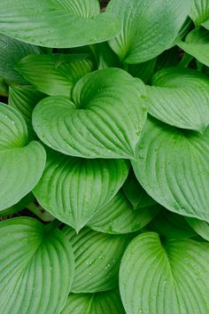 Hostas are an easy-to-grow, low-maintenance perennial plant perfect for shade gardens and low-light areas in your landscape. While you can buy them as potted plants, they're often much more affordable to buy as bare-root plants, sold alongside flowering bulbs. Here's everything you need to know about planting hosta bulbs! Daffodil Bulbs, Bulb Flowers, Hosta Plants, Perennial Plant, Potted Plants, Hosta Care, Shade Landscaping, Low Maintenance Plants, Mediterranean Garden