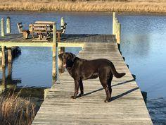 Labrador Retriever puppy for sale in POQUOSON, VA. ADN-72149 on PuppyFinder.com Gender: Female. Age: On the way Virginia, Labrador Retriever, Labrador Chocolate, 3 Month Olds, Puppies For Sale, Gender Female, Dog Breeds, Age, Animals