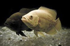 The Best and Worst Beginner Fish for Your Aquarium - A pair of young Oscar Cichlids (Astronotus ocellatus) - Tropical Freshwater Fish, Freshwater Aquarium Fish, Saltwater Aquarium, Tropical Fish, 55 Gallon Aquarium, 55 Gallon Tank, Aquarium Catfish, Oscar Fish, Cichlid Fish