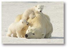 Polar Bear,Polar Bear,Polar Bear.