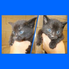 PANTHER PAIR DIE 4/25/17 BIG SPRING, TEXAS!!! FOSTER!! ADOPT!!! Kennel C5 1, M, 1 F DSH  Age: 6 weeks Available 4/21 Very friendly, sweet Big Spring Animal Shelter  3605 East 11th Place Big Spring, TX 79720 (432) 264-2372 M-F 1pm to 4pm