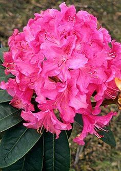 Rhododendron ('Cynthia' Rhododendron)