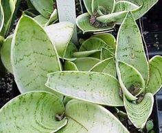 Sansevieria Hahnii | hoduję rośliny Sansevieria Trifasciata, Snake Plant, House Plants, Plant Leaves, Garden, Silver, Club, Cleaning Products, Sunlight