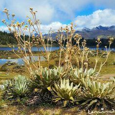Frailejon Mountains, Nature, Plants, Travel, Venezuela, Pictures, Naturaleza, Viajes, Plant