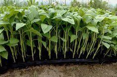 Doctorul Plantelor: Toate explicatiile de care aveti nevoie pentru a va produce singuri rasadurile The Secret Garden, Herbs, Vegetables, Decor, Sun, Houses, Plant, Decoration, Herb