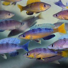 """Speckleback rainbow"" as described by African Diving Ltd. Cichlid Aquarium, Aquarium Fish, Tropical Aquarium, Tropical Fish, Lake Tanganyika, Rift Valley, African Cichlids, Planted Aquarium, Sea World"