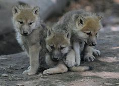 adorable wolf pups
