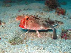weird sea creatures animals/ Red Lipped Batfish