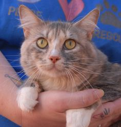 Petunia is so grateful for kindness that she will lick and kiss your hand. She is a beautiful spirit, a blue & cream & white (dilute calico) feline, 2 years young, spayed girl, ready for adoption at Nevada SPCA (www.nevadaspca.org). Petunia was surrendered because another cat in her previous home was picking on her. She is understandably afraid of cats trying to play with her, but she does well with other gentle cats.