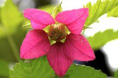Image result for salmonberry flower