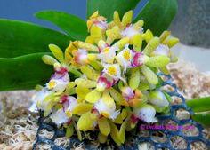 Miniature Orchid Gastrochilus bigibbus