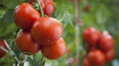 Povídání o rajčatech: Co možná o nich nevíte | Dům a zahrada - bydlení je hra