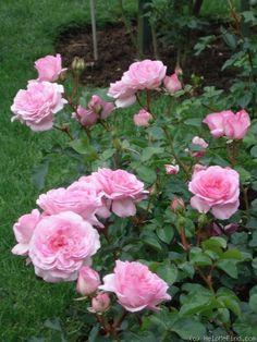"'Roseraie du Chatelet ', 4"", 80-100cm, Breite bis 70cm, , 6b"