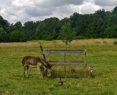Sunday (8/24/14) was a beautiful day at Rikki's Refuge! (donkey, cat and goat out in the field!)  www.rikkisrefuge.org