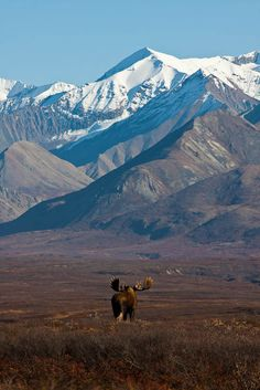 Moose in the great outdoors - Alaska