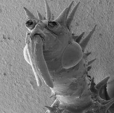 Spiny Assassin Bug  //microscope-bugs-spiny-assassin-bug