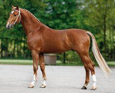 Dutch Harness Horse/Tuigpaard - stallion Bakboord HBC