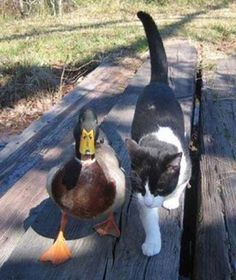 Duck and Cat Friends