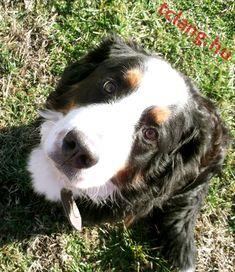 Kérlelő nézés Bern, Dogs, Animals, Animales, Animaux, Pet Dogs, Doggies, Animal, Animais