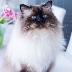 Its time for #wednesdaywhiskers. Someone with pretty whiskers is the this gorgeous sealpoint called Freddie @eivor.bertilsson #birmavanner #heligbirma #birma #sacredbirman #birmania #birmanie #pyhäbirma #instabirmans #birmansofinstagram #whitecats #blueeyes #fluffycats #catsofinstagram #cats #kittens #instakittens #kittensofinstagram #tabbycats #tortiecats #toocute #beautifulcats #sealpoint #brunmaskad