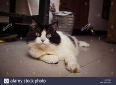 Download this stock image: Cat in black and white relaxing on the ground - M1PGW8 from Alamy's library of millions of high resolution stock photos, illustrations and vectors.