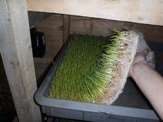 Northern Homesteader - This Alaskan Life - Growing barleyfodder