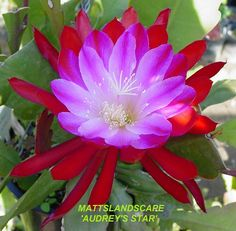 100 PCS Seeds Nopalxochia Bonsai Orchid Cactus Plants Lotus Water Lily NEW 2019