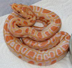 The Burmese Python Morph List - Reptile Forums Burmese Python, Corn Snake, Ball Python, Weird And Wonderful, Cute Animals, Albino, Lizards, Bugs, Money