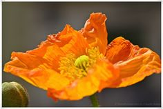 For orange lovers  https://www.facebook.com/EssenReisenLeben #EssenReisenLeben #Montag #Orange #Mohn #Frühling