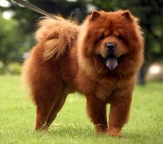 Chow Chow. They are members of the non-sporting group. They are great hunters and guard dogs. They stand at 17-20 inches at the shoulder and weigh about 44-70 pounds.