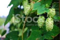 A close-up of Hops, the focus being on the Hops at the front of the. Hops Vine, Agriculture Photos, Kiwiana, Summer Photos, Turquoise Water, Embedded Image Permalink, Image Now, Fertility, Wine Recipes