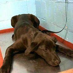 Atlanta, Georgia - Labrador Retriever. Meet RAMBO, a for adoption. https://www.adoptapet.com/pet/21362770-atlanta-georgia-labrador-retriever-mix