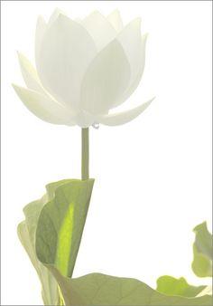 White Flower (Lotus) - IMGP5101-V1 by Bahman Farzad, via Flickr