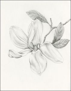 Annabel graphite on paper - lauren chisholm fine art Landscape Pencil Drawings, Pencil Drawings Of Flowers, Pencil Sketching, Realistic Flower Drawing, Floral Drawing, Realistic Drawings, Illustration Sketches, Art Sketches, Art Drawings