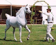 Ashhal Al Rayyan 1996 grey stallion (Safir x Ansata Majest… | Flickr