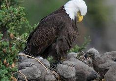 Baby Bald Eagle, Eagles, Wildlife, Birds, Animals, Animales, Eagle, Animaux, Bird