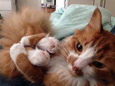 animallulz:  At least my feet let me hug them! Via 110110 from #reddit #cat #kitten #lolcat #neko #catagram #catsofinstagram #instacat #ネコ #nekoatsume #catstagram #AnimalLulz #cute #kawaii #funny #lol #meme #pet #pets #haha #lulz #love #instacute #adorable #aww #gingercat #catfeet http://ift.tt/21Tyl2t  #anime #cosplay #costume #otaku #gamer #videogames