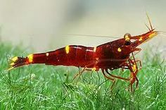 Red goldflake shrimp