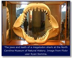 Fossilized teeth of the Megalodon Shark became the official state fossil of North Carolina on June 26, 2013. Excerpt of Session Law 2013-189, House Bill 830: Whereas, the megalodon shark is an extinct shark species that lived over 1.5 million years ago... http://ncpedia.org/symbols/fossil ^rh