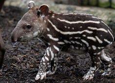 Tapir Calf