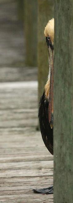 Pelican peek a boo Love Birds, Beautiful Birds, Animals Beautiful, Funny Birds, Funny Animals, Cute Animals, Regard Animal, Peek A Boo, All Nature