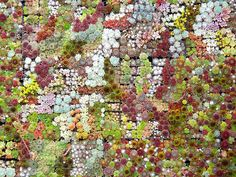 Wall of succulents
