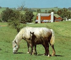 Horse breed - Percheron (Equus caballus) ; Image ONLY Country Farm, Country Life, Horse Pictures, Animal Pictures, Percheron Horses, Draft Horses, Horse Breeds, Farm Life, World