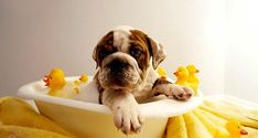 The major breeds of bulldogs are English bulldog, American bulldog, and French bulldog. The bulldog has a broad shoulder which matches with the head. The skin o Bulldog Puppies, Cute Puppies, Cute Dogs, Dogs And Puppies, Frenchie Puppies, Sweet Dogs, Vintage Poster, King Charles Spaniel, Dog Grooming