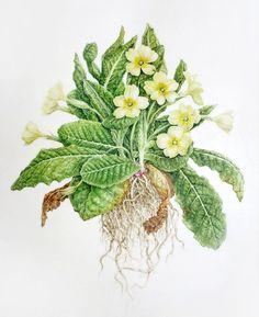 Art course teaching botanical illustration online with Dianne Sutherland #artschoolprograms