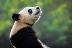 Pandamonium by Marsel van Oosten - Photo 174240889 / 500px