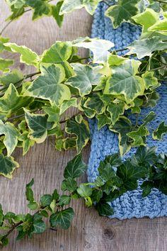 Der Efeu besitzt eine einzigartige und außergewöhnliche Blätterfärbung.  #pflanzenfreude #efeu #ivy #zimmerpflanzen #houseplant #living #wohnen #inspiration