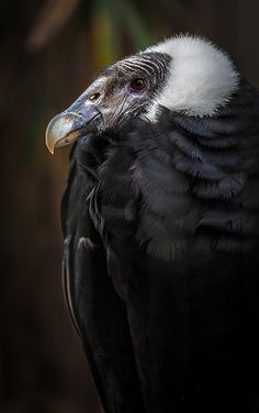 Andean Condor Beatrice posing for me Every time I see her, she delights me. by alan shapiro photography, via Flickr