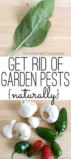 Are you looking for a natural and organic pesticide?  As a gardener, I occasionally have run-ins with insects, especially aphids. When this happens, I have a safe and natural way to dispatch these devils.  Garlic Pepper Tea.   This simple recipe for Garlic Pepper Tea is safe for pets and people. | Popular Pins